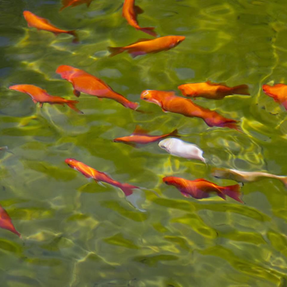i pesci ideali per un laghetto da giardino piante fiori