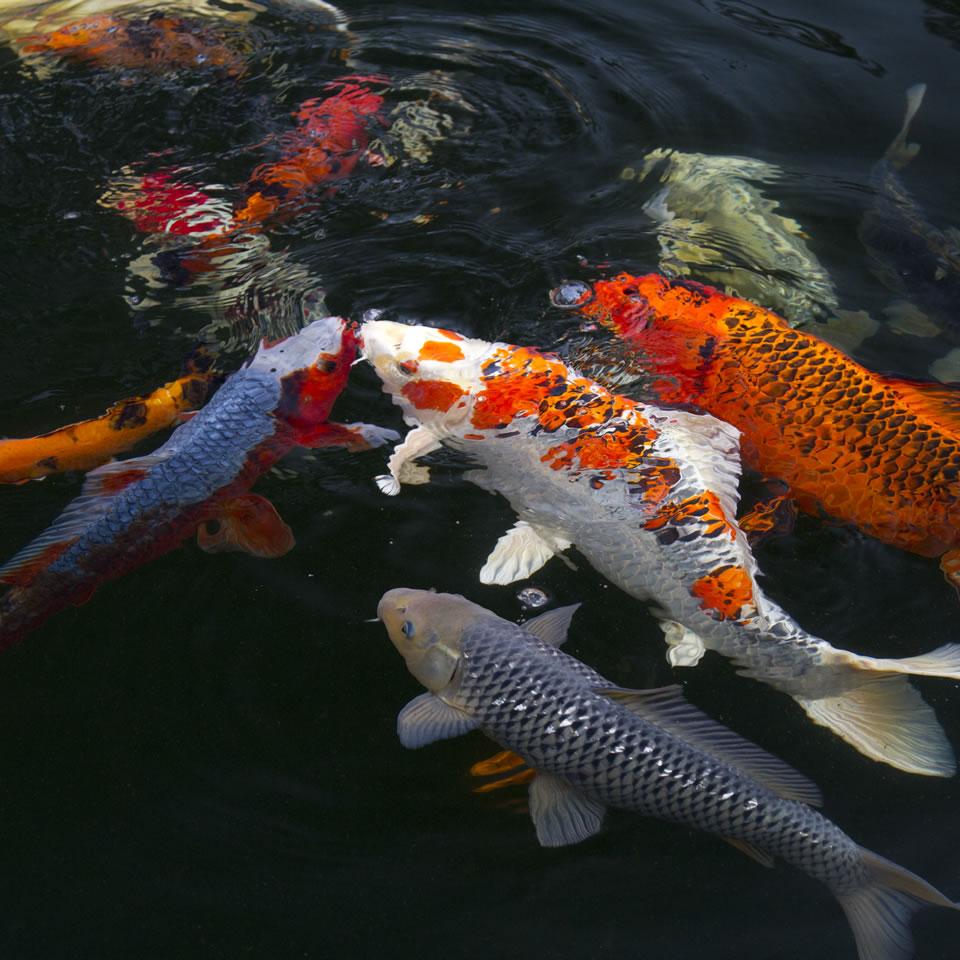L 39 importanza delle piante acquatiche nei laghi per koi for Laghetto carpe koi