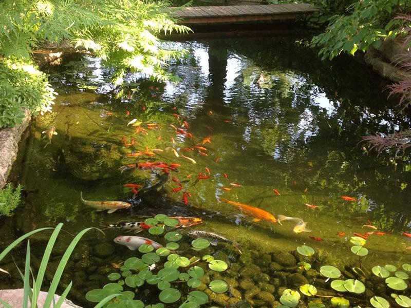 I pesci ideali per un laghetto da giardino piante fiori for Piante ossigenanti per laghetto