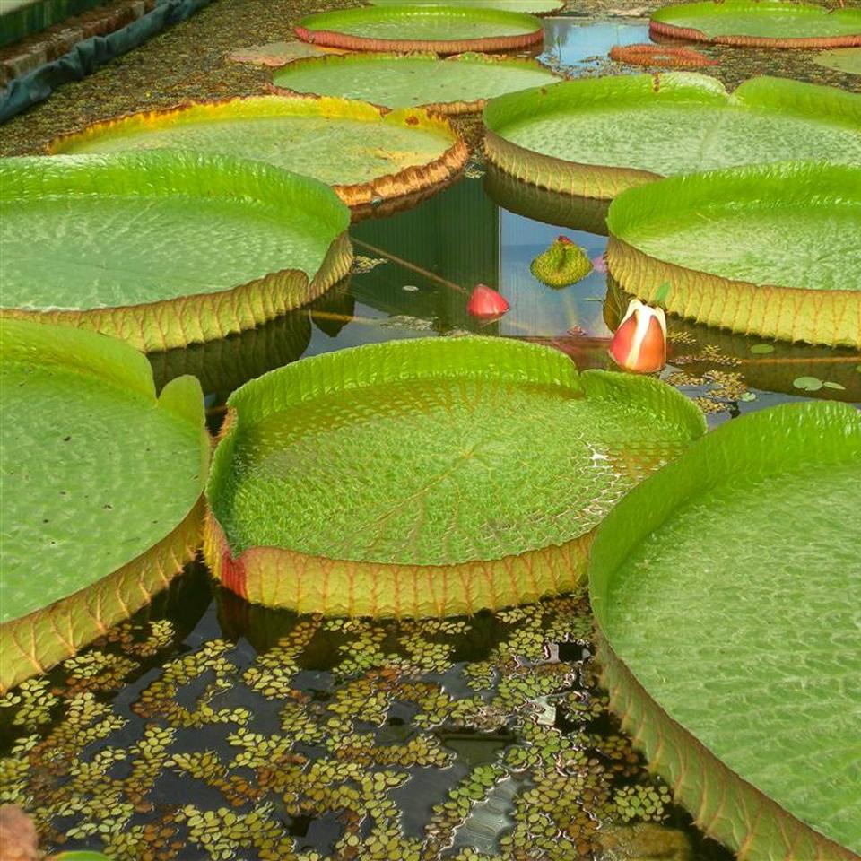 Ninfee e piante acquatiche per un giardino colorato - Giardino delle ninfee ...